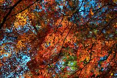 Kōyō / 紅葉 (Jonathan Faney) Tags: autumn kyoto japan asia leaves tree fall momiji koyo maple color