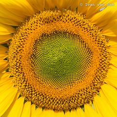 A little bit of sunshine for 2017... (Ivan van Nek) Tags: sunflowers hautegaronne midipyrénées languedocroussillonmidipyrénées nikon nikond3200 d3200 frankreich france frankrijk zonnebloemen yellow geel zomer summer lété tournesols