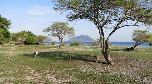 Kepa island - goats