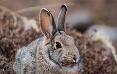 Mr. Rabbit- DSC_0088 (Kerstin Winters Photography) Tags: nikon coloradosprings colorado wildlife tier sigma150600 sigma d7200 closeup nahaufnahme flickrnature flickr wildhase hase natur nikondigital nikondsl nature animal bunny rabbit