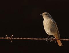 Colirrojo tizón /  Black redstart / Phoenicurus ochruros (vic_206) Tags: bird canoneos7d canon300f4liscanon14xii deltadelllobregat colirrojotizón blackredstart phoenicurusochruros