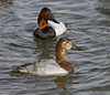 Canvasback pair (Mawrter) Tags: canvasback pair two duck ducks couple together maryland cambridge cambridgemaryland canon bird birds birding choptankriver animal outdoor waterfowl nature wild wildlife outdoors outside specanimal