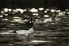 Reflections and Water Drops (westcoastcaptures) Tags: sonya99ii minoltaaf400f45hsg minoltaapoii14xteleconverter goldeneye esquimaltlagoon waterbird duck vancouverisland