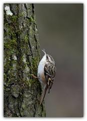 Grimpereau des jardins (guiguid45) Tags: nature sauvage oiseaux bird passereaux forêt loiret d810 nikon 300mmf28 grimpereau certhiabrachydactyla grimpereaudesjardins