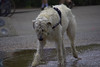 Big Hairy Dog (swong95765) Tags: dog large big hairy canine animal pet water wet cool longhair thirsty