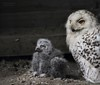 Mama passt auf (babsbaron) Tags: eule schnneeule greifvogel baby küken zoo hannover owl snow