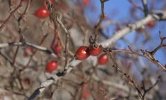 hiver (bulbocode909) Tags: valais suisse hiver nature baies rouge bleu branches