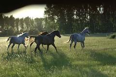 _le00371 (lotharlenz) Tags: shagyaaraber herde babolna