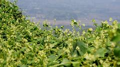 Flora - Lomas de Lucumo (jimmynilton) Tags: lomas de lucumo pachacamac lima peru flora alturas desierto verde sony nex5n nex 5n