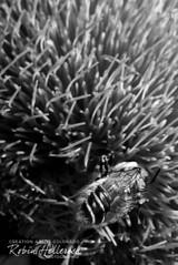 IMG_2440RMH BW 12.1 Grayscale WebsiteRGB (creationartistcoPHOTO) Tags: bee animal flower purple photography photo beewing outdoors closeup macro blackandwhite bw honey honeybee