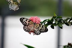"""Butterfly Competition (Aruba) (runintherain) Tags: runintherain canon450dxsi canon canonxsi caribbean lesserantilles flora nature outdoor animals butterflies bokeh flowers aruba """"netherlands"""" abcislands dutchcaribbean arubabutterflyfarm oranjestad"""