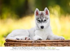Day 71 Megha (Emyan) Tags: dog animals puppies husky siberian