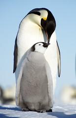 Emperor Penguins (Christopher.Michel) Tags: penguins ale antarctica dc3 emperors dougallan gouldbay