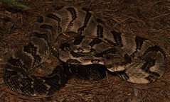 Timber Rattlesnake (commercialam3n) Tags: macro nature canon timber snake snakes rattlesnake herp rattle herpetology crotalus horridus fieldherping herping crote