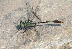 7K8A1703 (rpealit) Tags: mountain nature scenery dragonfly wildlife management area sparta unicorn clubtail