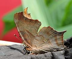 Question Mark_N7657 (Henryr10) Tags: butterfly butterflies papillon schmetterling mariposa farfalla borboleta vlinder flunnerk kapelleke questionmark polygoniainterrogationis polygonia nymphalinae nymphalidae bmna midsize