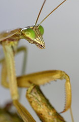 Giant African Mantis (londieone) Tags: wild macro nature mantis insect praying hunter