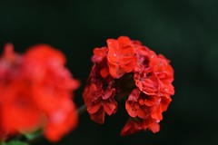 Flowers (Braden Bygrave) Tags: flowers flower macro nature beautiful bokeh 85mm