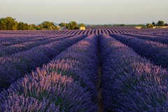 Lavender dreams (sarah_presh) Tags: flowers summer holiday france lavender july provence valensole lavenderfield nikond7100
