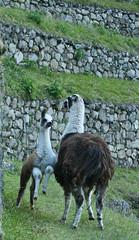 Peru-8610.jpg (Matt and Debbie) Tags: peru llama 2015 wayna winaywayna wiay