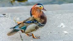 Enten am Wannsee (Hydrocore Photography) Tags: berlin germany deutschland duck mandarinduck ente wannsee aixgalericulata mandarinente