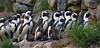 Penguins en route (Foto Martien) Tags: africanpenguin blackfootedpenguin jackasspenguin afrikaansepinguïn zwartvoetpinguïn brilpikkewyn pingüinodeelcabo pingüinoafricano pingüinodeanteojos spheniscusdemersus pinguïns vetganzen manchot pingüinos pinguim sfeniscidi penguins pinguine ペンギン пингвиновые 企鵝 waterfowl aquaticflightlessbirds colonie kolonie bird vogel southafrica zuidafrika nabimia namibië southwesterncoastofafrica kustzuidwestafrika bouldersbeach koninklijkeburgerszoo burgersdierenpark burgers zoo dierenpark dierentuin netherlands nederland holland dutch veluwe gelderland arnhem geotaggedwithgps sony a77 sonyalpha77 sonyslta77v 70300 tamron70300mmf456sp martienuiterweerd fotomartien