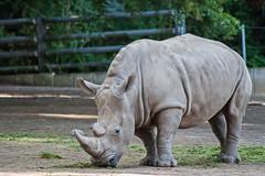 20150801_41 - graue Pracht (grasso.gino) Tags: nature animals zoo tiere nikon natur rhino dortmund nashorn breitmaulnashorn d3000