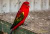 _J9A6849 (Noel Roberts) Tags: birds maleny aviary birdlife birdie birdwatching birdcage birdphotography featheredfriends bird worldcuteflightfeatherbirdswildlifeparrotafrican grey parrotgolden chinese pheasantpheasantcolourfulbeautifulmaleny botanic gardensbotanicgardenscockatooblack cockatooredtailedindian ringneck parrot budgie