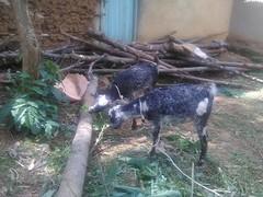 KSKE Goat Project
