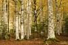 Hayas, Fagus sylvatica, en el Valle de Ordesa-8200 (Enrique Palmero) Tags: pirineos ordesa aragón torla hayas fagussylvatica