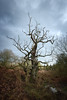 Old Tree (aveyardphotography) Tags: old gnarled tree bare trunk wilderness clouds nature natur sky howardian hills castle howard bracken lightening