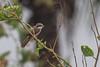 Brown Shrike (steve happ) Tags: bagasbasbeach camarinesnorte daet philippines