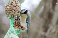 Blaumeise an der Futterkette - Blue tit on the feeder chain (riesebusch) Tags: berlin garten marzahn vögel