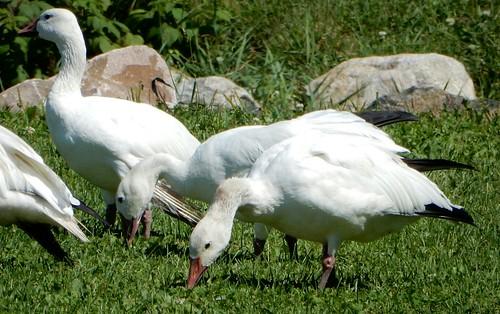 Oie blanches