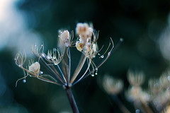 down by the river... (petegatehouse) Tags: weed flower cowparsley turquoise bluehue bokeheffect blur