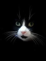 Mittens (SteveH1972) Tags: cat cats pet pets animal cute cuteness whiskers adorable inside indoors indoor home 2016 bartonuponhumber uk europe britain black white blackandwhite bw