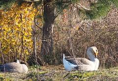 Chinese Swan Goose (piranhabros) Tags: goose chinese swan swangoose chineseswangoose eugene deltaponds neck graceful woods oregon