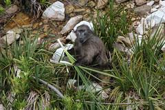 (jmonhof) Tags: national botanical gardens bärenpavian chacma baboon