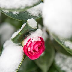 winter bloom (Ben McLeod) Tags: oregon portland sellwood winterstorm flower snow