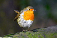 This photo better be on a Christmas card?? ((c) MAMF photography..) Tags: robin robinredbreast nature naturereserve woodland wildlife britain beauty beautiful bird gardenbird colour red d7100 england eastyorkshire flickrcom flickr google googleimages gb greatbritain greatphoto image mamfphotography mamf bridlington nikon north nikond7100 northernengland photography photo sewerbyhall trees uk unitedkingdom upnorth yorkshire animal