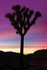 Bristled Joshua Trees (MyLifesATrip) Tags: california jenpollackbianco joshuatree joshuatreenps joshuatreenationalpark desert sunrise