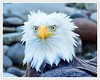 So How Cold Was It This Morning In Western Washington....This Look Pretty Much Say's It All (Hawg Wild Photography) Tags: americanbaldeagle baldeagle eagle eagles raptor raptors birds bird of prey nature wildlife animal animals terrygreen nikon nikon600mmvr hawg wild photography