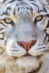 Kara ♀ - Beauty (Belteshazzar (AKA Harimau Kayu)) Tags: kara tiger zoo animal bigcat bigcats feline bengaltiger pantheratigristigris königstiger indischertiger eltigredebengala tigredubengale latigrerealedelbengala бенгальскийтигр 孟加拉虎 whitetiger weisertiger tigreblanco tigreblancroyal белыйтигр 孟加拉白虎 zooshot tobu tobuzoo snowwhite mirrormirror mutti mutter muttivonvierkindern frühlingserwachen springawakening monday