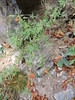 Camérisier des Pyrénées (L'herbier en photos) Tags: caprifoliacées caprifoliaceae sobrarbe huesca aragon espagne aragón españa lonicera pyrenaica camérisier pyrénées pyrenean honeysuckle madreselva pirineo chèvrefeuille torlaordesa torla ordesa montperdu monte perdido pirineos