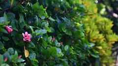wild flower (Jukai Fujiki) Tags: canon 30d weather sunlight sun summer wild red pink trekking yellow outdoor outside hongkong colors peaceful plants art flora flowers green hiking harmony landscape light leisure licht life lonesome naturaleza cinematic vivid nature national