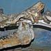 Megacerops robustus (fossil titanothere) (Oligocene; Nebraska, USA) 3