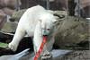 Eisbärin Sura im Ouwehands Dierenpark (Ulli J.) Tags: zoo niederlande nederland netherlands paysbas nederlandene utrecht rhenen ouwehandsdierenpark eisbär polarbear ourspolaire isbjørn ijsbeer