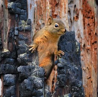 Squirrel Lazy Boy