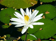 Beautiful White Waterlily (Stanley Zimny (Thank You for 22 Million views)) Tags: white waterlily lily flower beautiful