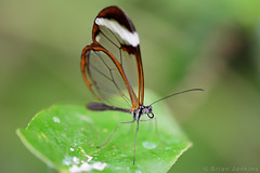 Glasswinged Butterfly (Bri_J) Tags: tropicalbutterflyhouse northanston sheffield southyorkshire uk yorkshire butterflyhouse nikon d7200 glasswingedbutterfly butterfly macro gretaoto
